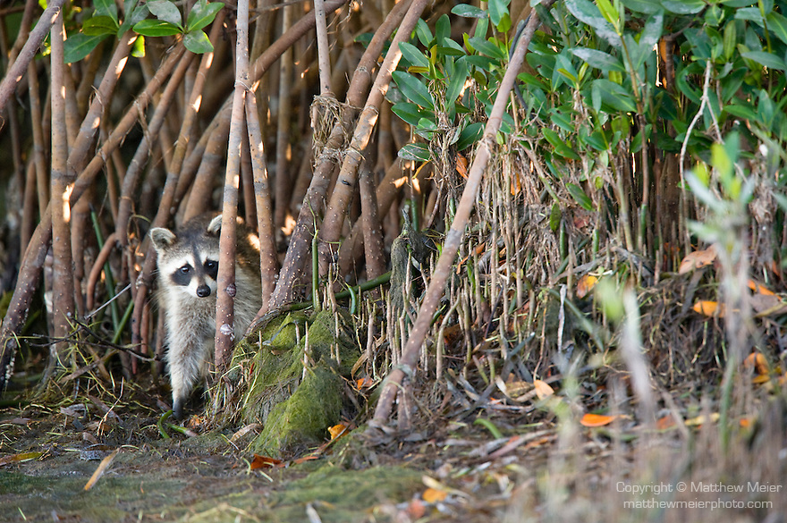 Ding Darling National Wildlife Refuge, Sanibel Island, Florida; a Raccoon (Procyon lotor), juvenile, hides in the mangrove trees at the edge of the water © Matthew Meier Photography, matthewmeierphoto.com All Rights Reserved