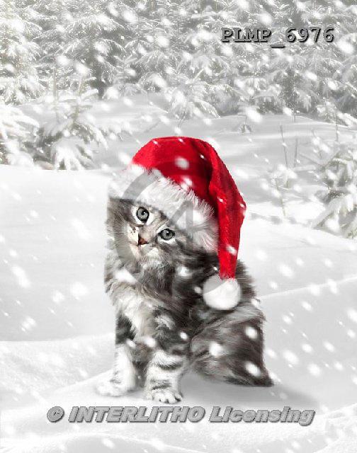 Marek, CHRISTMAS ANIMALS, WEIHNACHTEN TIERE, NAVIDAD ANIMALES, photos+++++,PLMP6976,#XA# cat  santas cap,