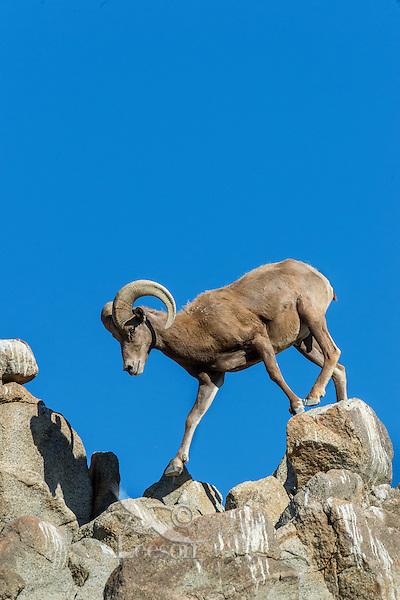Desert Bighorn Sheep ram (Ovis canadensis nelsoni).  Sonoran Desert, CA