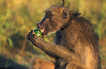Chacma baboon, Papio cynocephalus ursinus, eating green monkey orange, Kruger National Park, Mpumalanga, South Africa