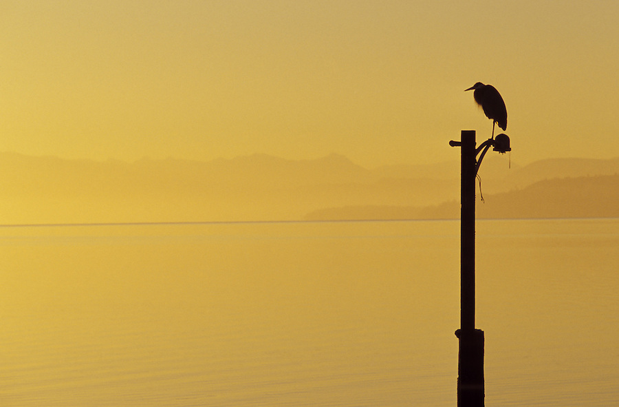 Great blue heron standing on light pole silhouetted against sunrise, Whidbey Island, Coupeville, Washington