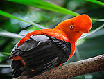 The Andean cock-of-the-rock (Rupicola peruvianus) is the national bird of Peru. Here photographed at the Bronx Zoo in New York.