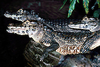 Crocodiles (Crocodylus)