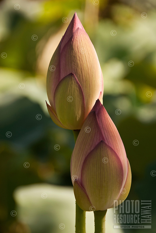 Two lovely lotus buds side by side