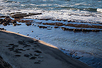 While gentle waves roll to shore, dozens of harbor seals lie resting on the beach at the Fitzgerald Marine Reserve, Moss Beach, California.