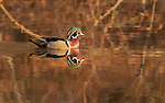 Wood Duck, breeding plumage