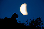 Mountain Lion (Puma concolor) male and moon, Torres del Paine National Park, Patagonia, Chile