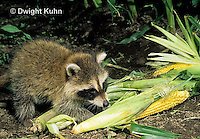 MA22-006x  Raccoon - young animal exploring, finding food (corn) in garden - Procyon lotor