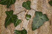 Efeu klettert an Baumrinde empor, Hedera helix, Common Ivy, English Evy, Lierre grimpant