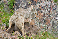 Wild Coyote (Canis latrans) nursing pups.  Western U.S., June.