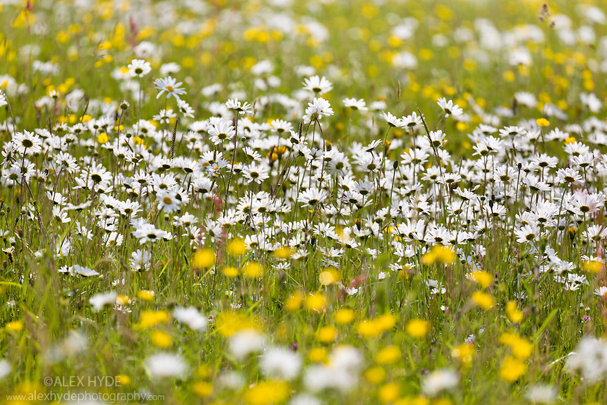 Oxeye Daisies {Leucanthemum vulgare} and Buttercups {Ranunculus acris} flowering in meadow. Birchover, Peak District National Park, Derbyshire, UK. June.