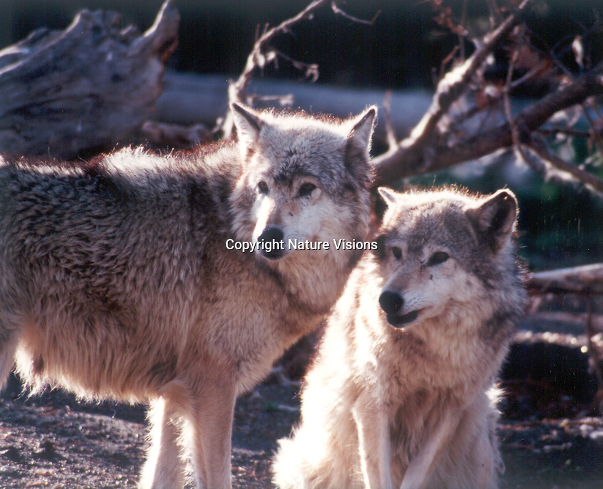 GRAY WOLVES<br /> WEST YELLOWSTONE,MONTANA