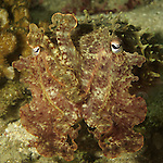 Kenting, Taiwan -- Close-up of a cuttlefish in a defensive stance.