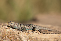 425900018 a wild male great basin fence lizard sceloporus occidentalis longipes perches on a rock along chalk cliffs road bishop california united states
