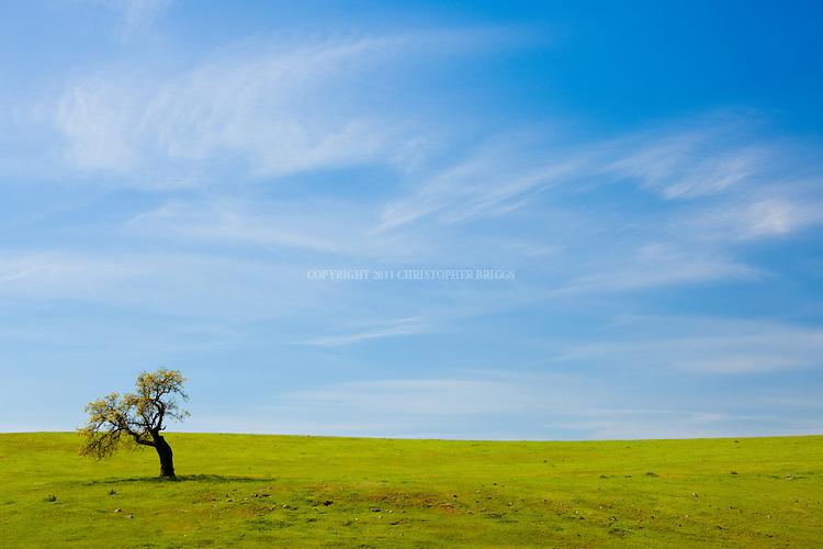A lone oak tree on a green hillside in spring. Santa Ynez Valley, Santa Barbara County, CA.