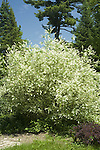 Russian Willow, Salix alba vitellina