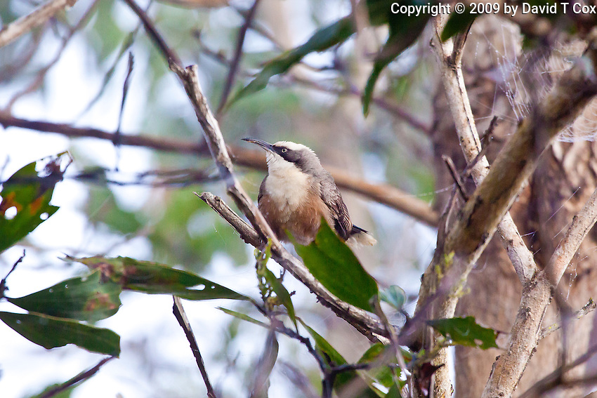 Grey-Crowned Babbler, Mareeba Wetlands, Queensland, Australia