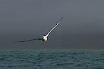 Gibson's Albatross (Diomedea antipodensis gibsoni) flying over ocean, Kaikoura, South Island, New Zealand