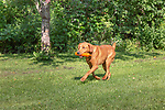 Fox red Labrador retriever returning with an orange training dummy.