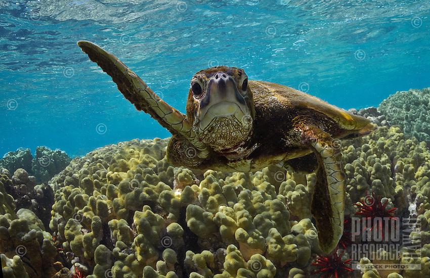 Snorkeling near an inquisitive green sea turtle (or honu) along a reef, Kona, Hawai'i Island.