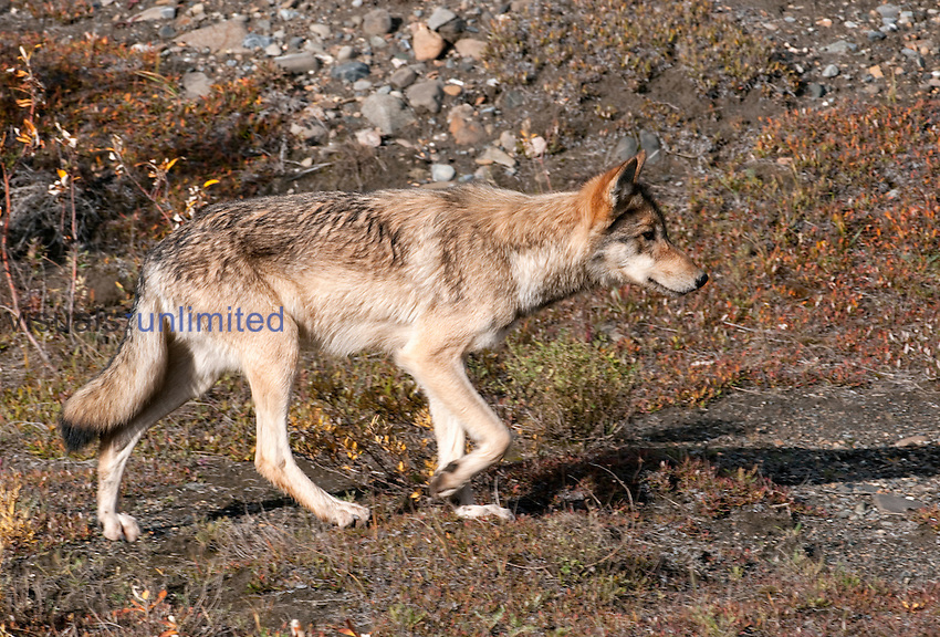Gray Wolf (Canis lupus) stalking Ground Squirrel, Alaska Range Mountains, Alaska, USA.