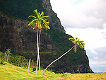 Coconut Palms, Lord Howe Island