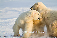 01874-13305 Polar Bears (Ursus maritimus) sparring Churchill Wildlife Management Area Churchill MB
