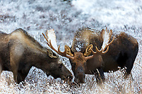 Bull and cow moose feed in willows with Chugach Mountains in Chugach State Park. Glenn Alps area of Anchorage, Alaska   <br /> <br /> Photo by Jeff Schultz/SchultzPhoto.com  (C) 2016  ALL RIGHTS RESVERVED