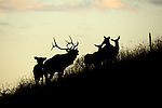 Elk Crossing Fence at Sunset