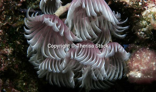 Feather Duster worm, Bispira brunnea