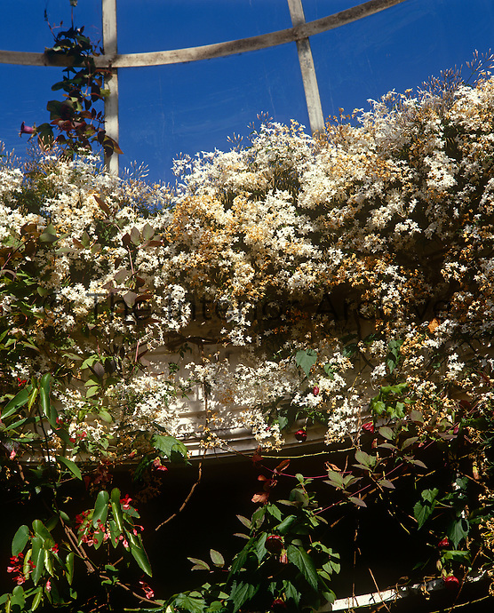 The glass cupola of the conservatory is a mass of scented white jasmine in summer