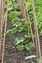Courgettes planted ready for training up a row of bamboo canes, end June.