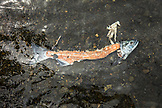 USA, Alaska, Coopers Landing, Kenai River, a dead fish spotted in the Kenai River
