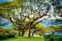 Branching trees near Hana, Maui Hawaii