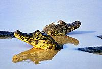 Animais. Reptis. Jacarés (Caiman crocodylus yacare). Pantanal. MT. Foto de Juca Martins.