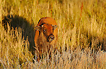 Bison Calf at Sunset, Norris Junction, Yellowstone National Park, Wyoming