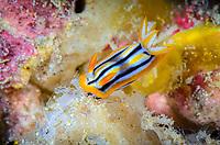 sea slug or nudibranch, Chromodoris sp., Lembeh Strait, North Sulawesi, Indonesia, Pacific