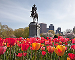 Tulips in the Boston Public Garden, Boston, MA, USA