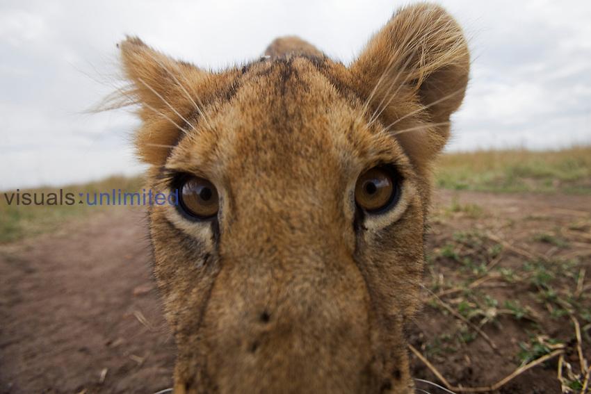 African Lion cub face (Panthera leo), Masai Mara, Kenya.