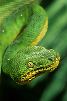 412304016 a captive emerald tree boa corallus carina coils on a small tree branch at a zoo in california