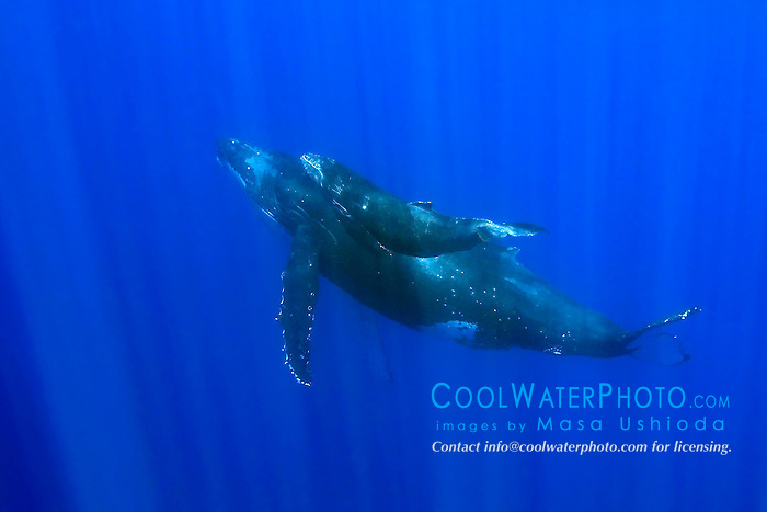 humpback whale mother and calf, Megaptera novaeangliae, Hawaii, Pacific Ocean.