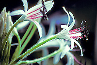 Spider Lily covered in dew drops