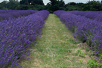 English lavender growing in rows at Mayfield's lavender farm