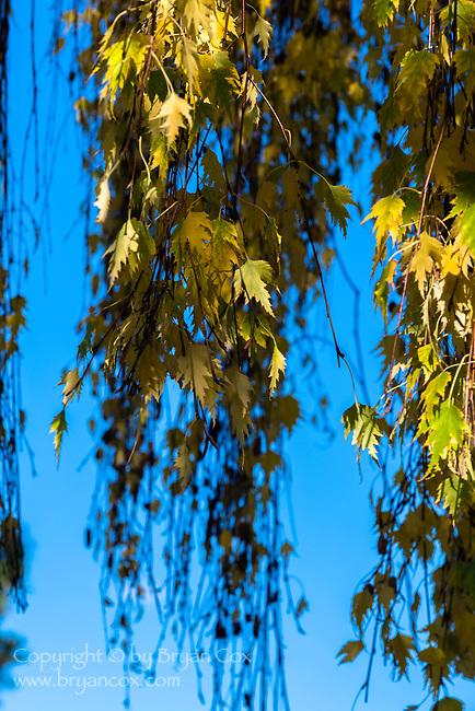 Birch tree leaves, fall