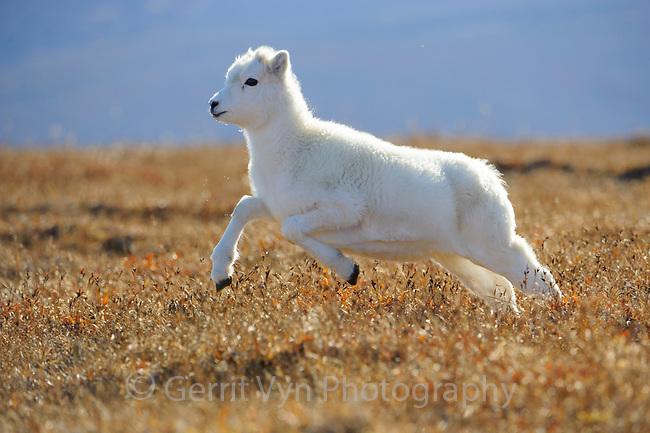 Dall Sheep (Ovis dalli) yearling lamb running across alpine tundra. Denali National Park, Alaska. September.