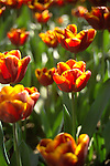 shallow focus image filling the frame with a field of backlit bright orange red tulips, standing straight upright in the late afternoon sunshine