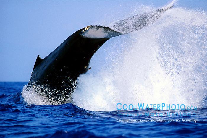humpback whale, peduncle throw, .Megaptera novaeangliae, .Hawaii (Pacific).
