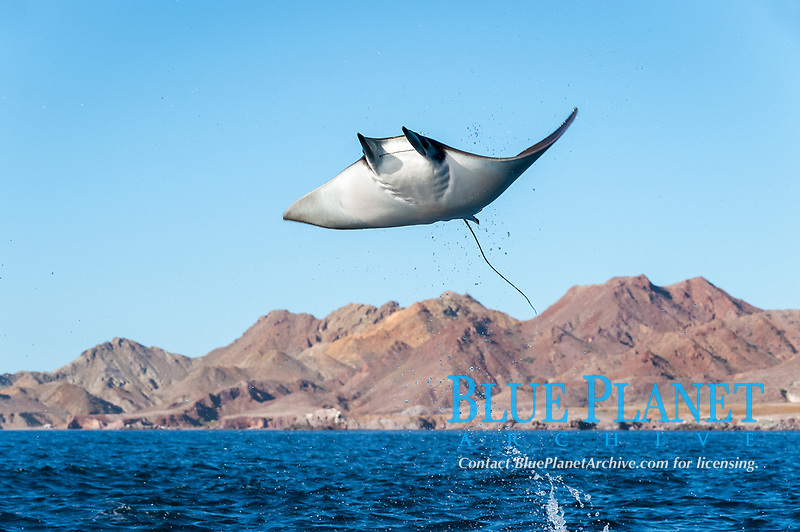 spinetail devil ray, spinetail mobula ray, or japanese mobula ray, Mobula japanica, jumping, leaping, breaching, Baja California, Mexico, Gulf of California, Sea of Cortez, Pacific Ocean