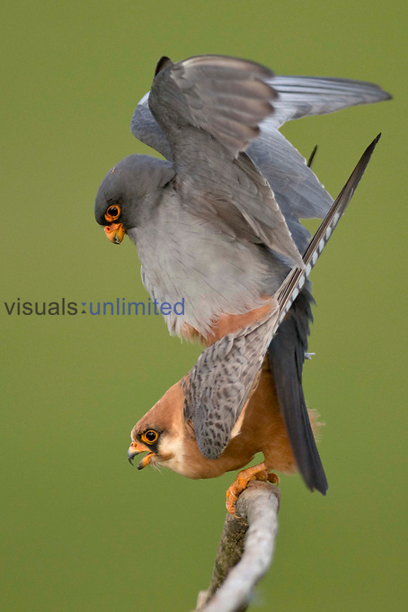 Red-footed Falcons mating (Falco vespertinus), Hungary