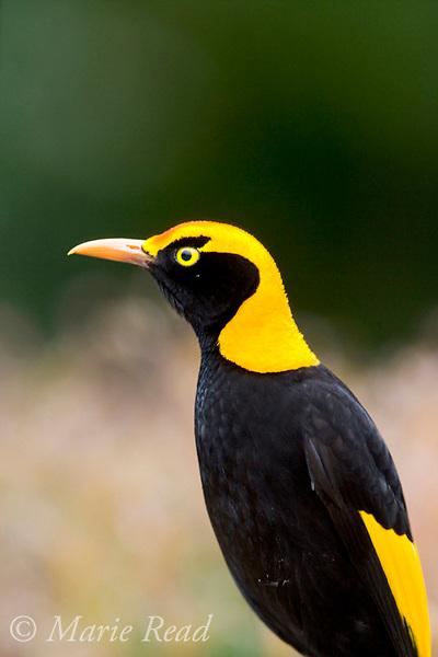 Regent Bowerbird (Sericulus chrysocephalus), adult male close-up, Lamington National Park, Queensland, Australia